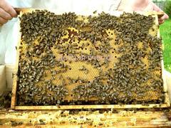Принимаем заказы на пчёлопакеты